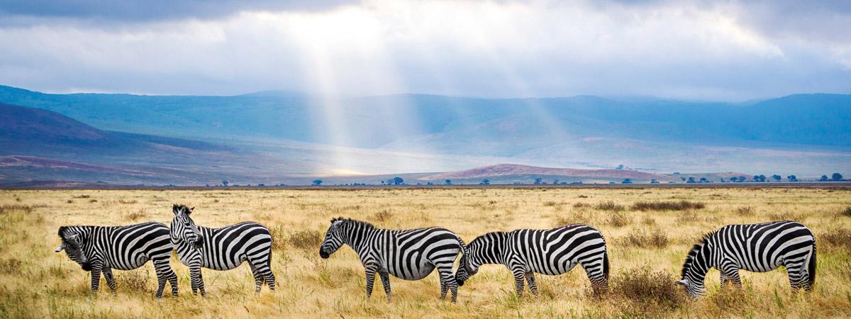 zebry-safari-tanzania-podroz