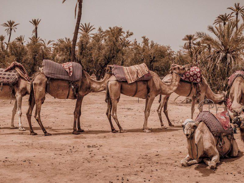 wielblady-pustynia-tunezja-afryka